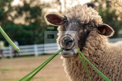 Owce / Owce jedzenia trawy na farmie.