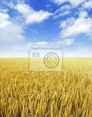 Paddy pole ryżu.