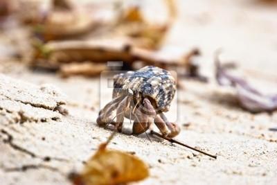 pagurian na piasku plaży