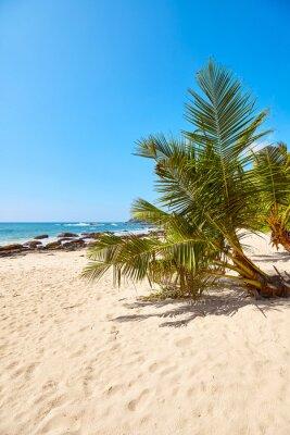 Palm tree on a tropical beach, summer vacation concept, Sri Lanka.