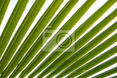 Obraz Palmy kokosowe liści na białym tle