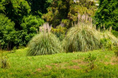 Obraz Pampas Grass or Cortaderia selloana or Cortaderia Cello or Cortaderia dioecious in natural decoration city park.