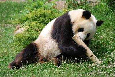 Obraz Panda 2