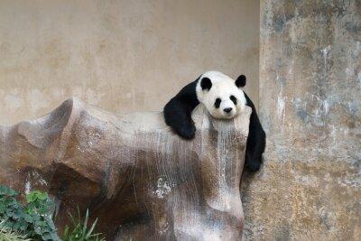 Obraz Panda Bear odpoczynku