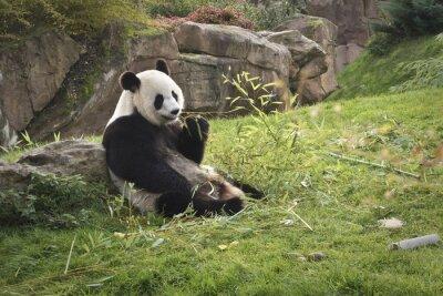 Obraz panda gigant géant panda //