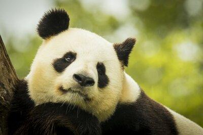 Obraz Panda jawie