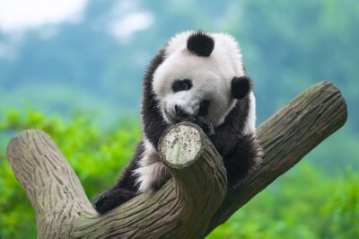 Obraz Panda niedźwiedź siedzi w drzewo