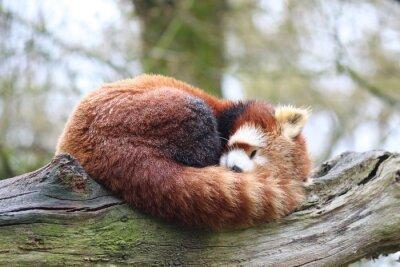 Obraz Panda Roux