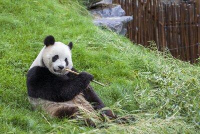 Obraz Panda siedzi na ziemi i zjada bambus