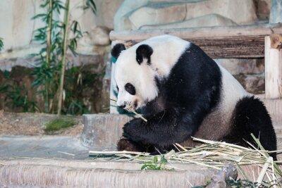 Obraz Panda wielka