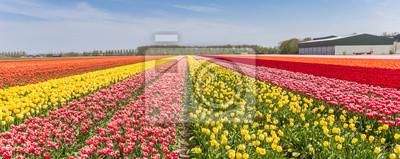 Obraz Panorama kolorowy tulipanu pole w Holandia