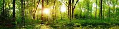 Obraz Panorama of a beautiful green forest with bright sun shining through large trees