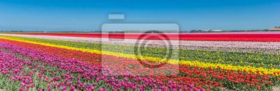 Obraz Panorama of a colorful tulips field in Noordoostpolder, Netherlands