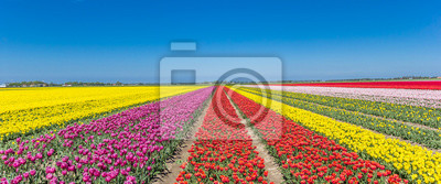 Obraz Panorama pola kolorowych tulipanów w Noordoostpolder
