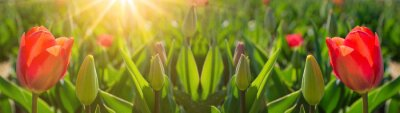 Obraz Panoramic landscape of blooming red tulips field illuminated by the sun in spring