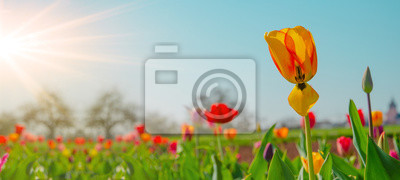 Obraz Panoramic landscape of blooming tulips field illuminated in spring by the sun