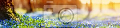 Obraz Panoramiczny widok na wiosenne kwiaty w parku. Scilla okwitnięcie na pięknym ranku z światłem słonecznym w lesie w Kwietniu