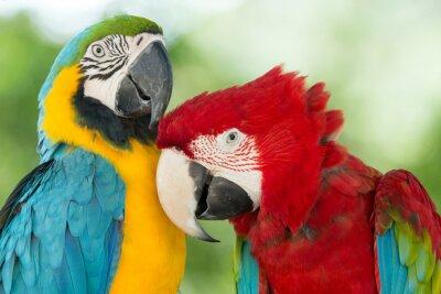 Obraz papugi