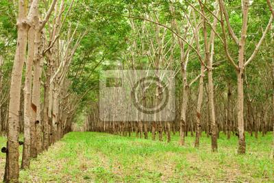 Obraz Para gumowe drzewa ogrodu, Tajlandia