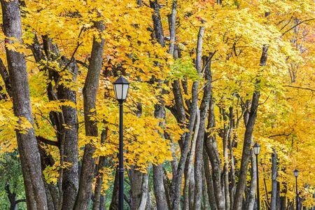 Obraz park tree tops with bright gold foliage and black retro lanterns. closeup view