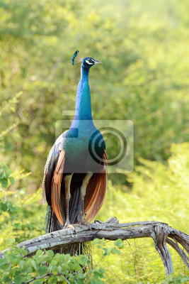 Paw w Parku Narodowym Uda Walawe, Sri Lanka. Azja.