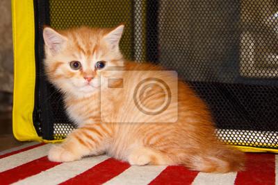 Obraz Peach Paski Pręgowany Kot Rudy Pręgowany Start Małe