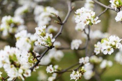 Obraz Pear blossoms on a twig.