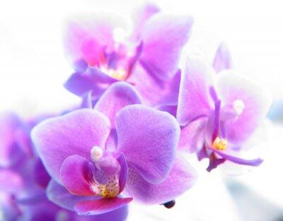 Obraz phalaenopsis