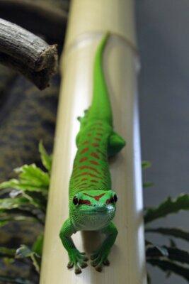 Obraz Phelsuma Grandis auf Bambus mit Blick zur kamera