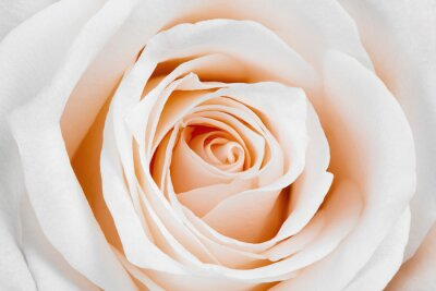 Obraz Piękna biała róża.