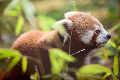 Obraz Piękna czerwona panda w naturalnym środowisku