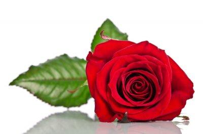 Obraz Piękna pojedyncza czerwona róża leżącej na białym tle