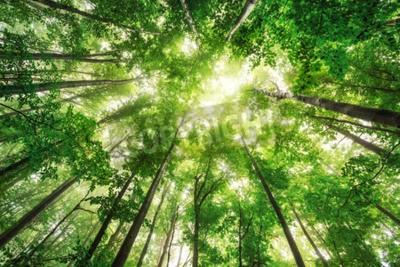 Obraz Piękna przyroda w mglisty poranek w lesie wiosny z promieni słonecznych