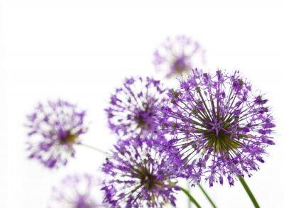 Obraz Piękne Allium / abstrakcyjne na białym tle