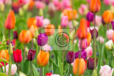 Obraz Piękne kolorowe tulipany, makro.