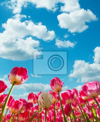 Obraz Piękne pola tulipanów w Holandii