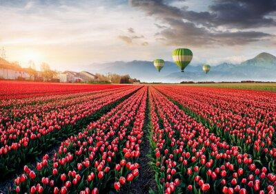 Obraz Piękne pole czerwone tulipany w Holandii. Balony w tle. Fantastyczne wydarzenie wiosny