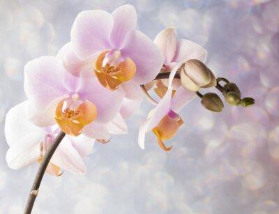 Obraz Piękne różowa orchidea na szarym tle.