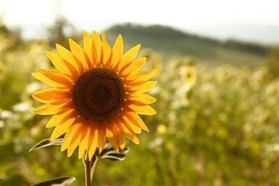 Obraz Piękne słonecznika w dziedzinie
