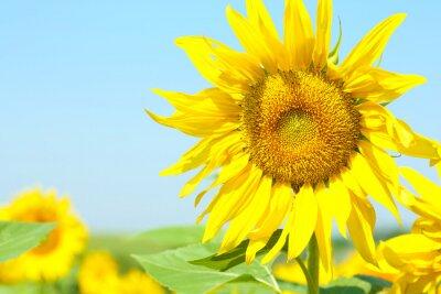 Obraz Piękne słonecznika w dziedzinie, z bliska