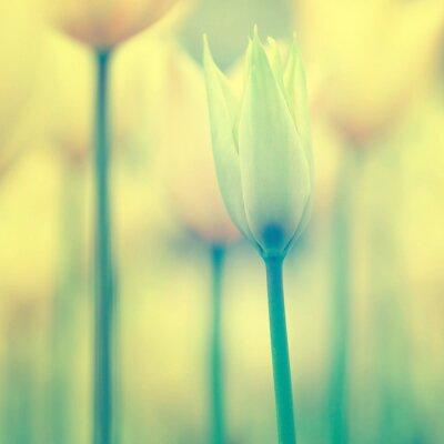 Obraz Piękne tulipany w tle