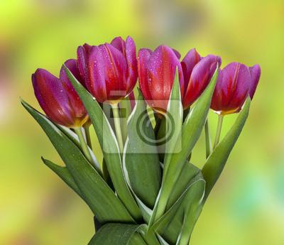 Piękne tulipany wiosną z kropli wody.