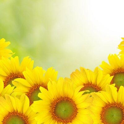 Obraz Piękne żółtym Sunflower