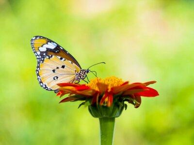 Obraz Piękny motyl na kwiat w przyrodzie