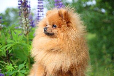 Obraz Piękny pomarańczowy Pies pomorskim w letnich kwiatów na tle przyrody