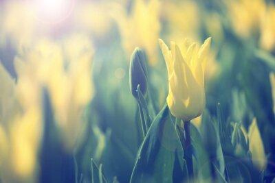 Obraz Piękny, słoneczny żółty kolor niewyraźne tulipany