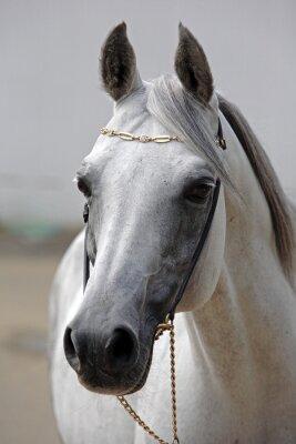 Obraz Piękny szary koni arabskich przeciwko stabilny