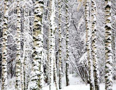 Obraz Pierwszy śnieg na drzewach brzoza