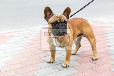 Obraz Pies Rasy Buldog Francuski Na Wymiar Czerwony Brązowy