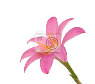 pink lily samodzielnie na białym tle. Zephyranthes candida